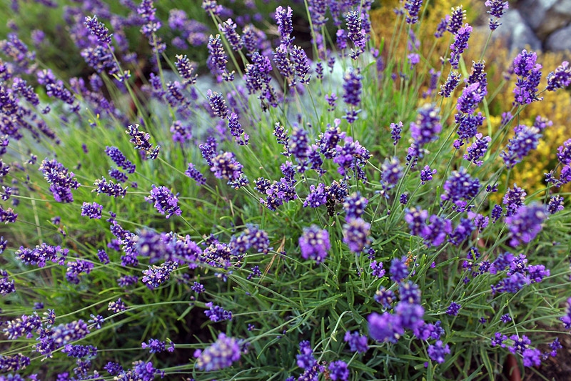 roche harbor wedding lavender